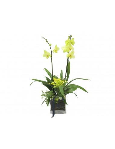Planta Orquidea Phelanopsis amarillas