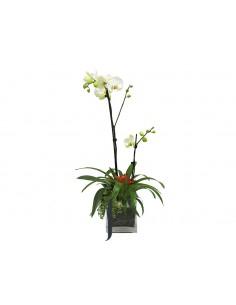 Orquidea Phelanopsis blancas